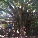 Majestic Tree on Seven Sacred Pools Site